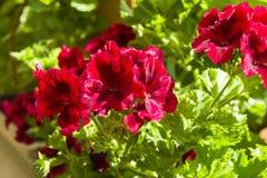 Geranio rojo floreciente imágenes de archivo libres de regalías