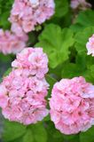 Geranio rosa nel giardino di estate fotografia stock libera da diritti