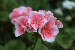 Geranio rosado fotografía de archivo libre de regalías