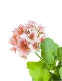 Geranio rosado Imágenes de archivo libres de regalías