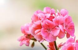 Geranio rosado fotos de archivo