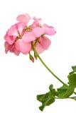 Geranio rosado Foto de archivo libre de regalías