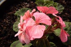 Geranio rosado Imagen de archivo libre de regalías