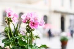 Geranio rosado en el fondo de la ciudad fotos de archivo