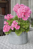 Geranio rosado en pote del zink foto de archivo libre de regalías