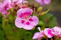 Geranio rosado floreciente y x28; Pelargonium& x29; fotos de archivo libres de regalías