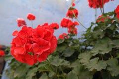 Geranio rosso Fotografia Stock