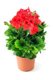 Geranio rosso conservato in vaso su fondo bianco Fotografia Stock Libera da Diritti