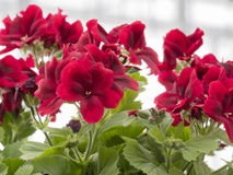 Geranio rosso in fioritura Immagine Stock