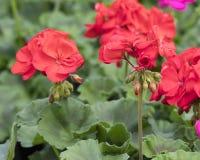 Geranio rosso in fioritura Fotografie Stock Libere da Diritti