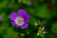 Geranio salvaje púrpura y blanco del bosque Imagen de archivo libre de regalías