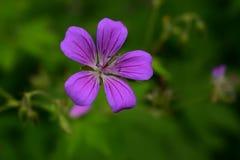 Geranio salvaje púrpura y rayado del bosque Imágenes de archivo libres de regalías