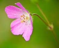 Geranio salvaje rosado (maculatum del geranio) fotografía de archivo libre de regalías