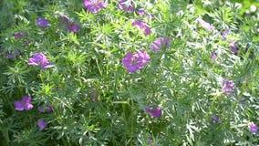 Geranio selvatico di fioritura in natura di estate archivi video