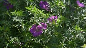 Geranio selvatico di fioritura in natura di estate stock footage