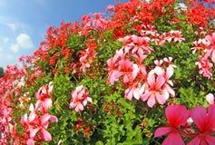 Geranios blancos y rojos en la plena floración Imagen de archivo