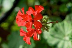 Geranios rojos. Foto de archivo libre de regalías