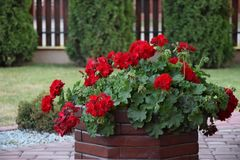 Geranios rojos en un pote del jardín Fotografía de archivo libre de regalías