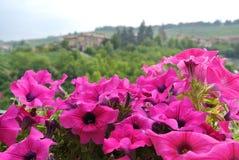 Geranios rosados Imagen de archivo libre de regalías