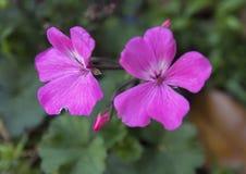 Geranios rosados Fotografía de archivo libre de regalías