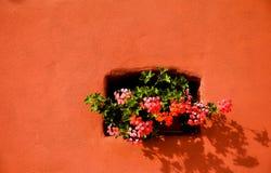 Geranios rosados en walll rojo Imagen de archivo