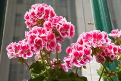 Geranios rosados en windowsill Imágenes de archivo libres de regalías