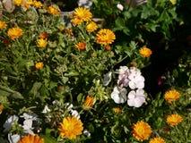 Geranios y flores de la maravilla Imágenes de archivo libres de regalías