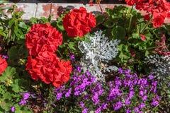 Geranios y flores rojos Fotografía de archivo