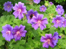 Geranium × magnificum 'Rosemoor'. Dense clusters of saucer shaped, heavily veined rich violet flowers appear among deeply divided, mid-green leaves in one stock photography