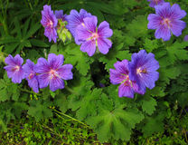 Geranium × magnificum 'Rosemoor' royalty free stock photos