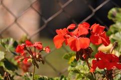 geranium imagem de stock royalty free
