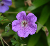 Geranium. Purple hardy geranium after a morning rain Royalty Free Stock Photography