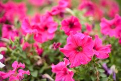 Geranium. Flower bed in a park Stock Photo