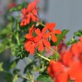 geranium fotografia de stock