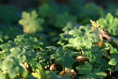 Geranium Stock Photos