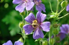 Geranium. In a garden royalty free stock photography
