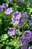 Geranium. In a garden royalty free stock images