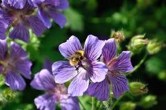 Geranium. In a garden stock images