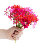 Geranium. Bouquet of the pink colors of geranium in the hand stock image