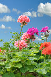 Geranium. Red and pink garden geranium flowers against a blue sky royalty free stock image