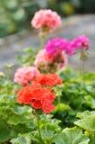 Geranium. Red and pink garden geranium flowers in pots stock photos