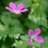 Geranium Royalty Free Stock Photo
