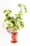 Geranium. Blooming geranium in the pot on a light background royalty free stock photos