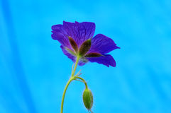 Geranium. Blue geranium flower with blue background stock image