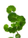 Geranium. Branch of a geranium on a white background. A close-up royalty free stock photos