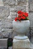 Geranium. Red geranium in cement urn in front of building stock image