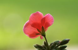Geranium. A geranium in winter morning Royalty Free Stock Photos
