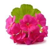 geranium Royalty-vrije Stock Afbeeldingen