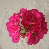 geranium Imagens de Stock