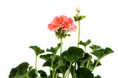 Geranium Stock Photography